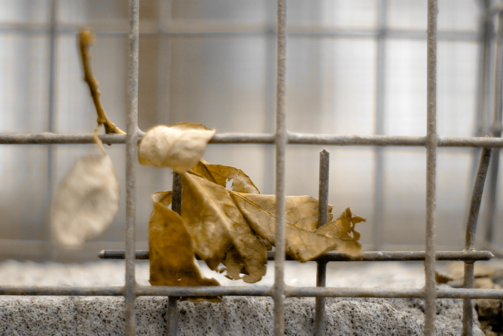 Dried autumn leaf stuck between the grid of a cage
